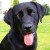 Black_Labrador_Retriever_portrait